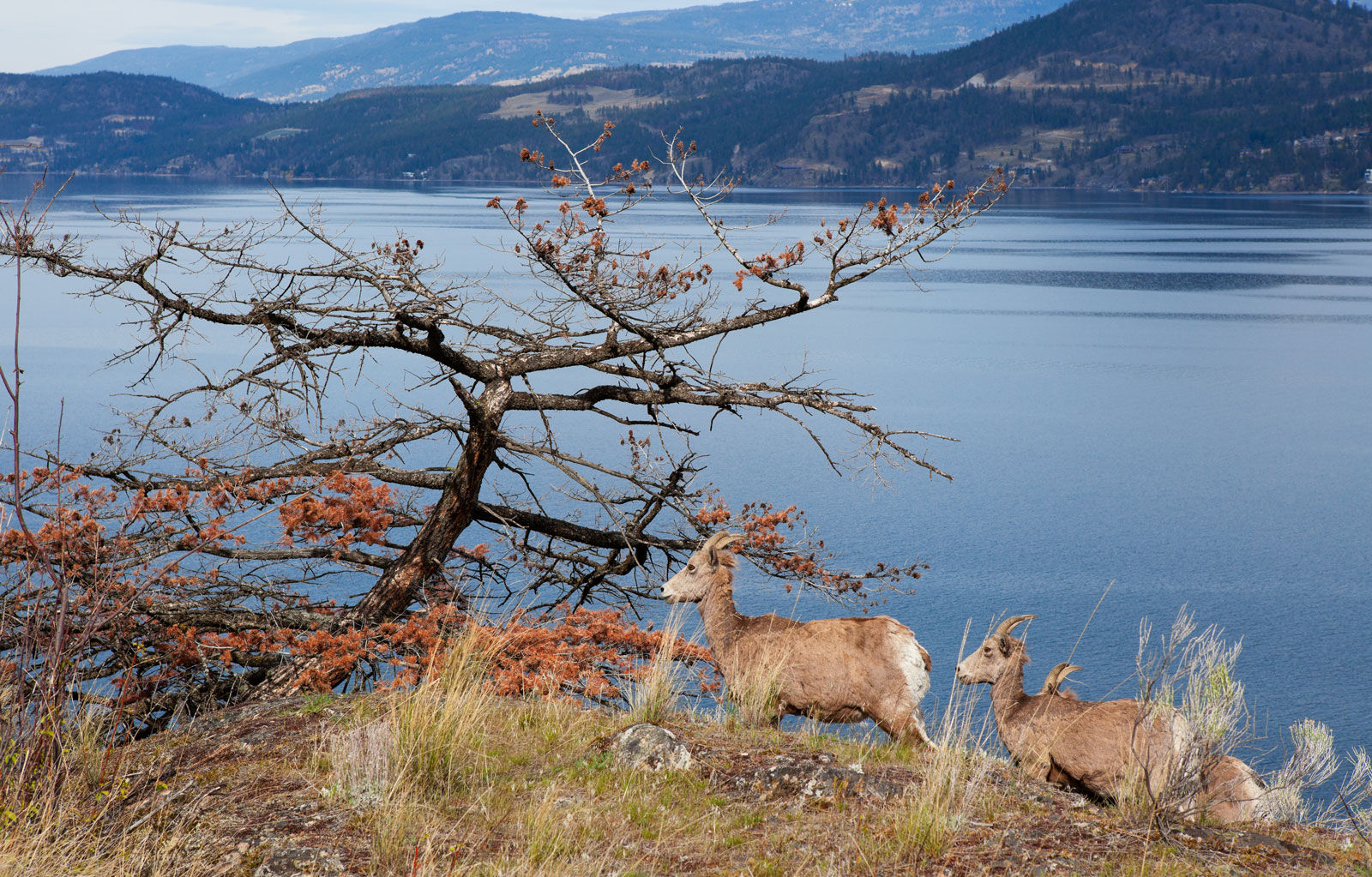 Okanagan Mountain Goats are among the vast wildlife you might be lucky enough to spot on your trip to the valley!